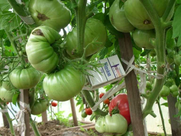 тех помидоры белый налив фото и выращивание бешеной популярностью среди