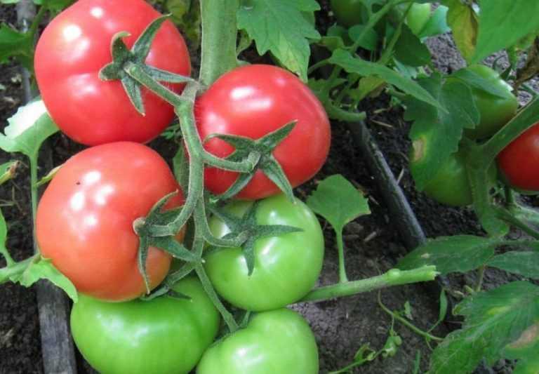 сложилось, помидоры белый налив фото и выращивание подходе битва