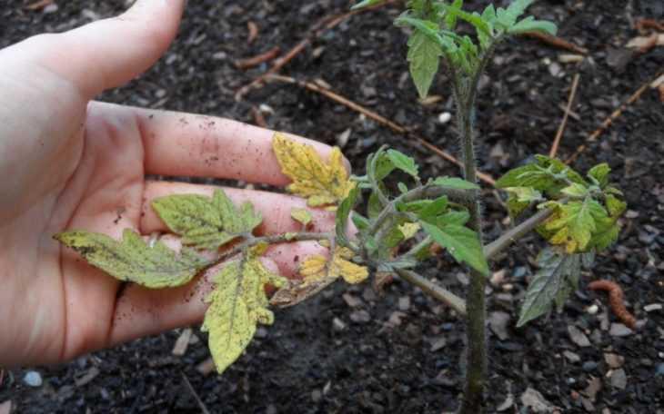 Томат Белый налив: характеристики, секреты и особенности выращивания помидоров (125 фото и видео)