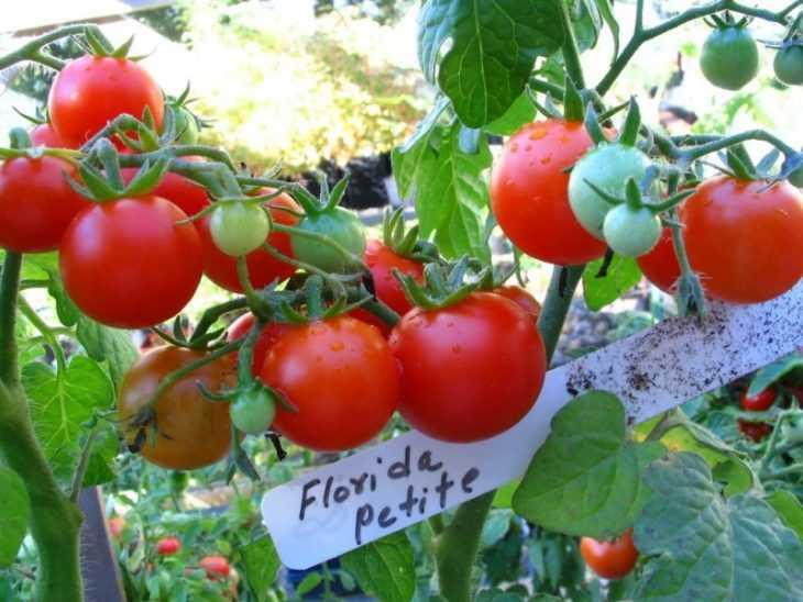 Томат Бычье сердце - характеристика, особенности ухода и секреты выращивания большого урожая (125 фото + видео)