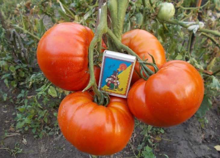 Томат розовый гигант - характеристики, описание, урожайность и нюансы сорта (видео + 105 фото)