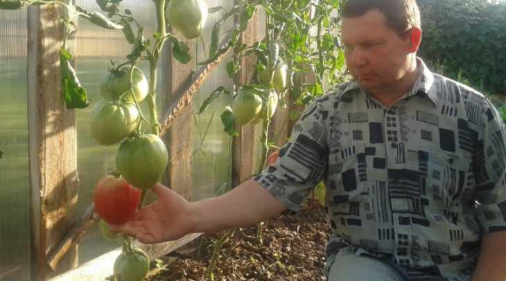 Томат розовый мед: характеристики, описание, уход и секреты выращивания сорта (125 фото)