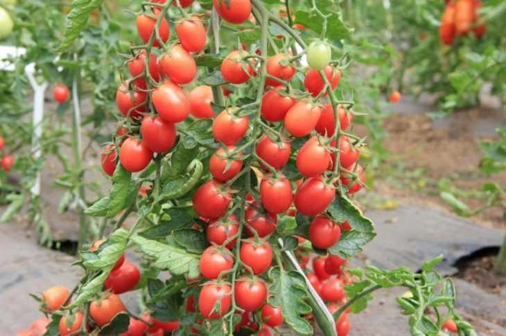 Томат Санька - 110 фото основных характеристик и секреты ухода за томатами сорта Санька