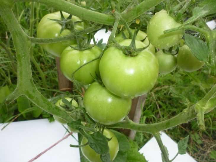 Томат Верлиока - правила выращивания, характеристики и самые привлекательные сорта (105 фото)