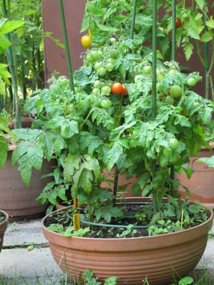 Томат Японский трюфель - 130 фото и видео описание популярного сорта помидора