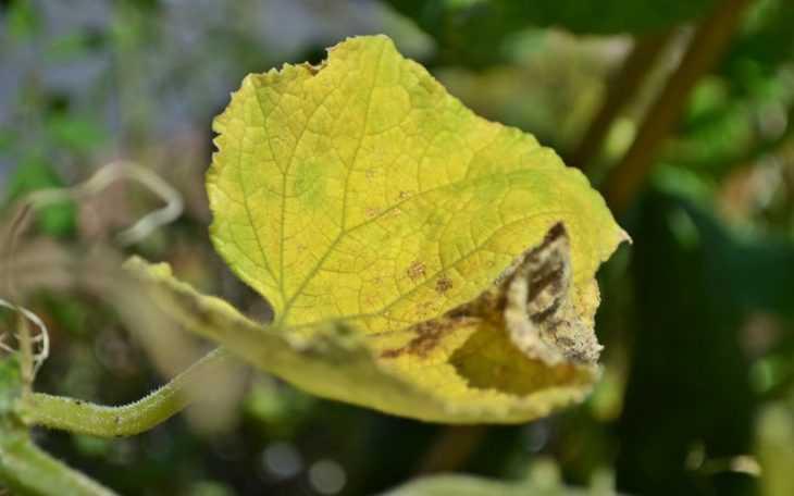 Желтеет рассада огурцов - причины пожелтения и основные варианты лечения заболеваниях рассады (125 фото)