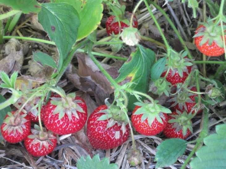 Агроволокно для клубники - как выбрать, применять и использовать правильно агроволокно при выращивании клубники (100 фото)