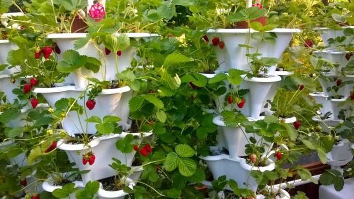 Ампельная клубника: свойства, особенности выращивания, характеристики (135 фото + видео)