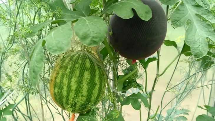 Арбуз это ягода или фрукт - обоснование, свойства и характеристика арбуза (видео + 110 фото)