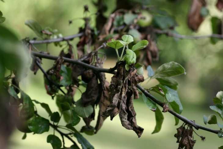 Бактериальный ожог груши - 115 фото как выглядит ожог и чем можно спасти урожай. Видео советы от экспертов