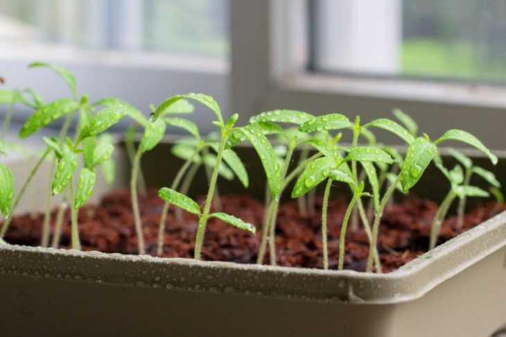 Благоприятные дни для посадки помидор - помесячный календарь посадки томатов своими руками (видео и 110 фото)