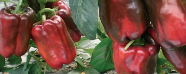 Болгарский перец польза и вред - советы как выбрать перец правильно и какими свойствами он обладает (115 фото)