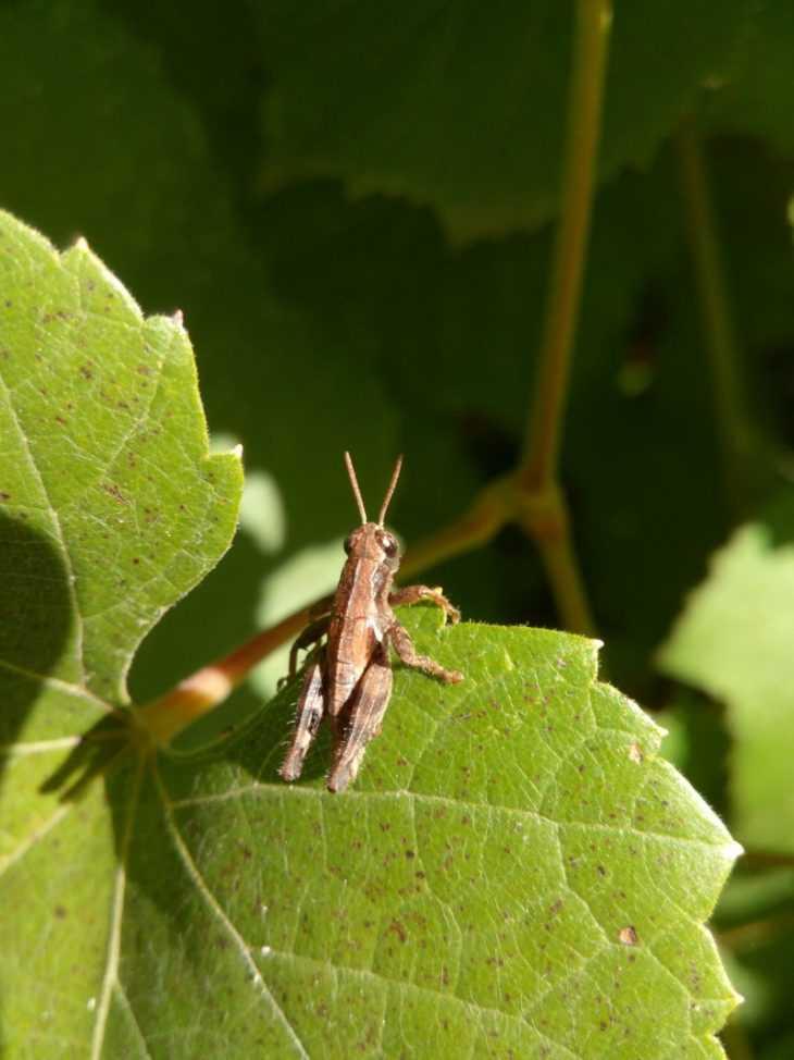 Чем лечить виноград - описание современных вредителей и болезней виноградников (110 фото)