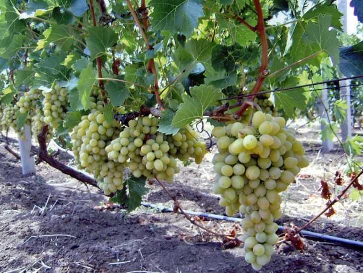 Чем подкормить виноград: советы по выбору составов для подкормки виноградников (видео + 135 фото)