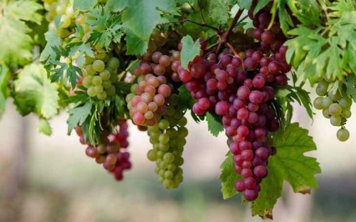 Чем полезен виноград - описание влияния на организм взрослого и ребенка. 130 фото и видео полезных свойств винограда