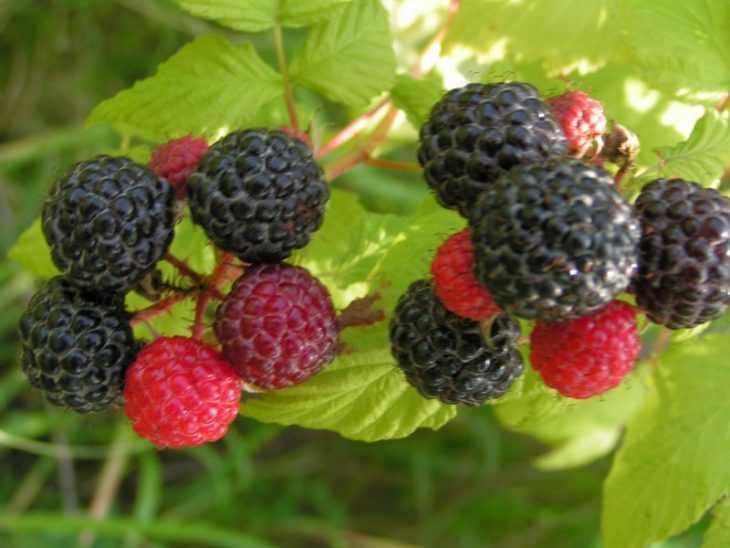 Черная малина - советы по уходу и пошаговая инструкция как вырастить правильно (95 фото и видео)