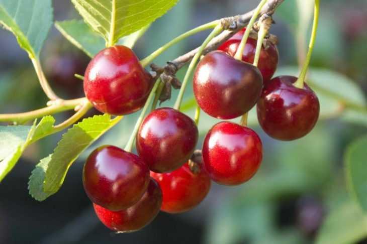 Чудо вишня - 130 фото и видео обзор свойств сорта. Методы выращивания вишни особого сорта