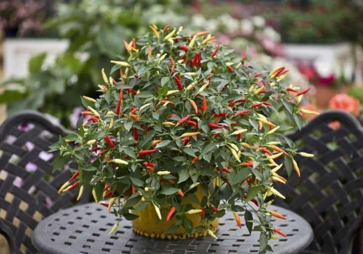 Декоративный перец: выращивание очаровательного растения в домашних условиях (видео + 120 фото)