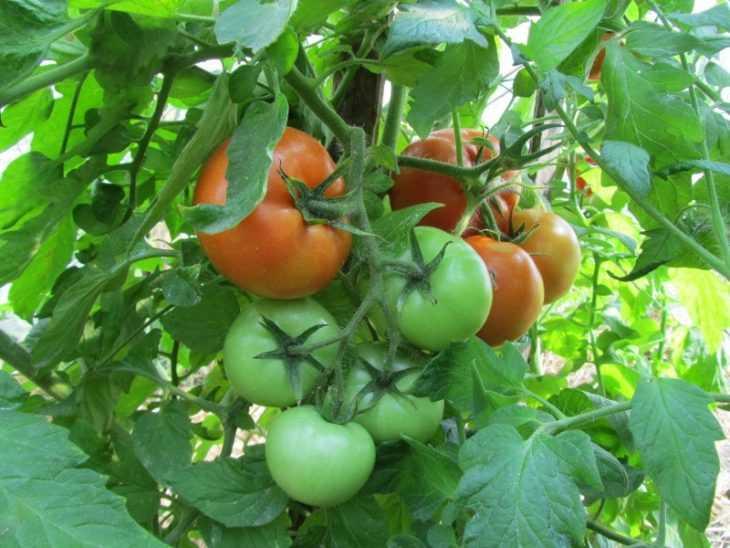 Детерминантные помидоры - 95 фото лучших сортов и правила их посадки в открытый грунт и в теплицах