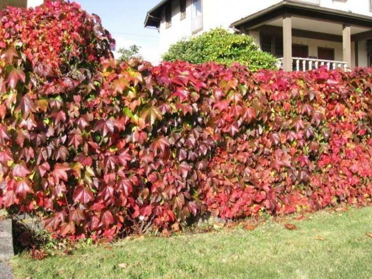 Девичий виноград - что это такое, уход и посадка особого вида винограда (100 фото)