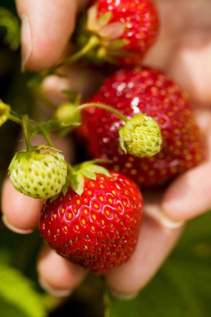 Домашняя клубника - советы мастеров как вырастить своими руками хороший урожай клубники (150 фото)