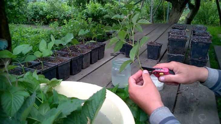 Ежевика: полезные свойства и противопоказания к употреблению ежевики (видео + 135 фото)