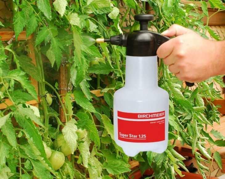 Фитофтора на помидорах: 105 фото и видео описание борьбы с популярным заболеванием томатов