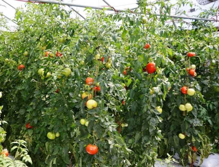 Формирование томатов: 105 фото формирования томатов в теплице и на открытом грунте