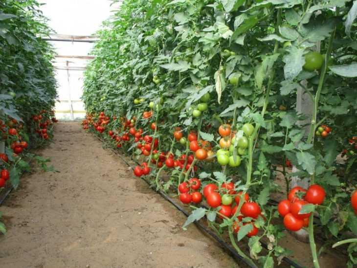 Как формировать детерминантные помидоры - правила, тонкости и особенности формирования помидоров (125 фото)