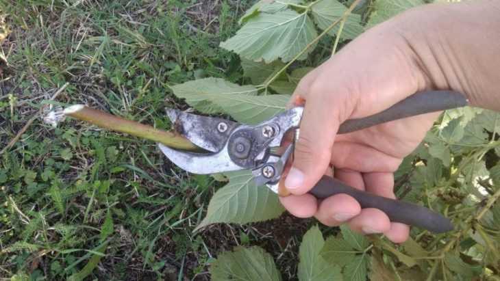 Как обрезать ежевику: советы как и когда лучше всего обрезать ежевику. 110 фото, правила и схемы обрезки