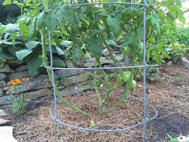 Как обрезать помидоры - схемы, методы, инструкции и способы обрезки томатов (125 фото и видео)