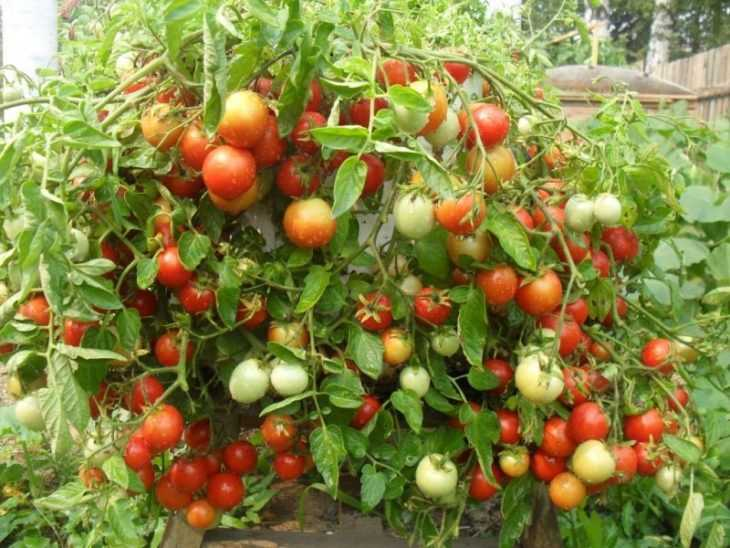 Как пасынковать помидоры - схемы правильного пасынкования в открытом грунте и в теплице (145 фото и видео)