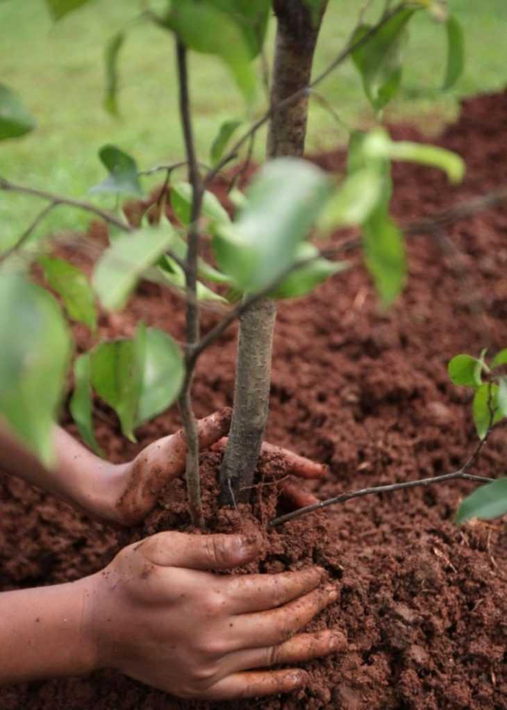 Как посадить грушу - 125 фото правильной посадке груши. Пошаговый мастер-класс посадки груши