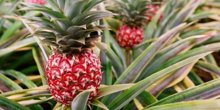 Как растет ананас - где растет и как его выращивать правильно своими руками быстро и просто (110 фото + видео)