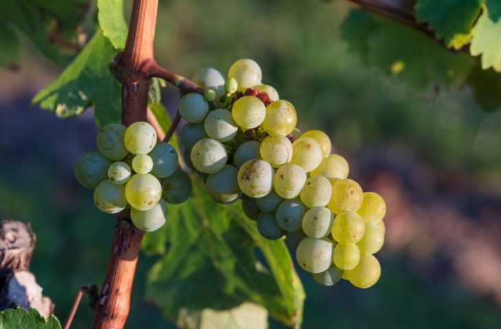 Как размножить виноград - подробный мастер класс по размножению виноградов своими руками (115 фото)