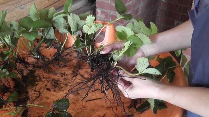 Как сажать клубнику - 130 фото как и когда правильно высаживать клубнику своими руками