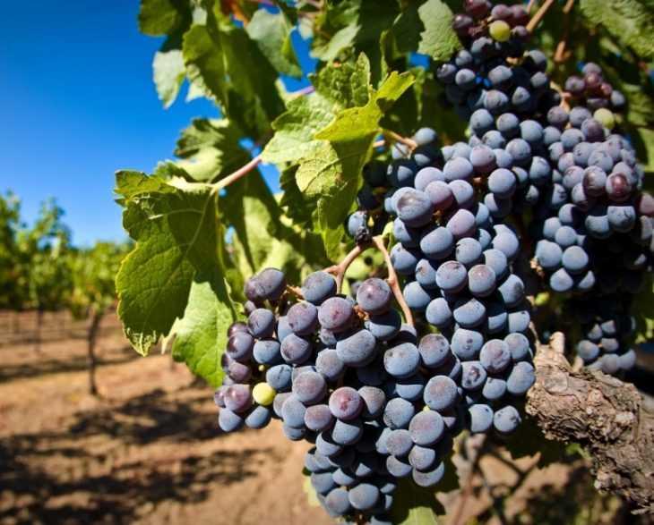 Как сажать виноград черенками: 135 фото как и когда правильно сажать и что нужно для выращивания винограда