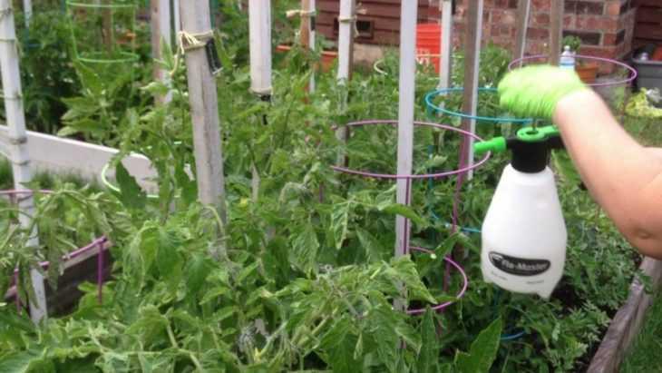 Как ухаживать за помидорами: особенности, инструкции и пошаговый мастер-класс по уходу за томатами (135 фото)