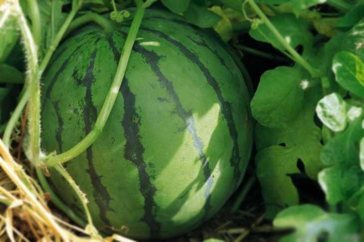Как выбрать арбуз: 80 фото и видео описание правильного выбора спелого и сладкого арбуза