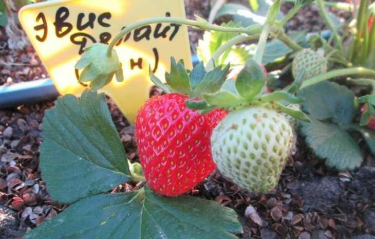 Как вырастить клубнику из семян - пошаговая инструкция как своими руками вырастить разные сорта клубники (110 фото и видео)