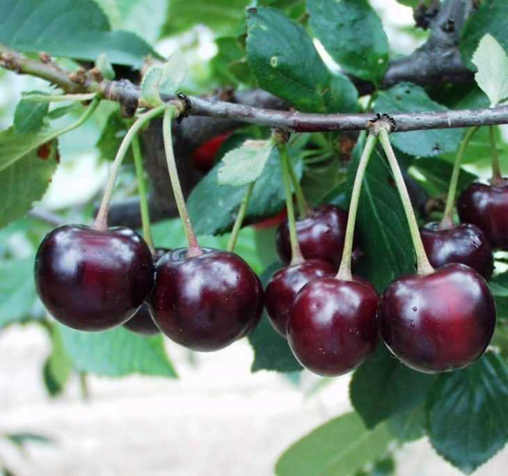 Как заморозить вишню: правильный выбор режима и особенности подготовки вишни для заморозки (125 фото)