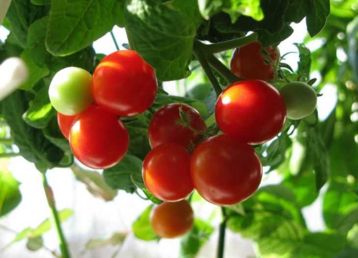 Кальциевая селитра для помидор: 90 фото и видео как применять удобрение для повышения урожайности томатов