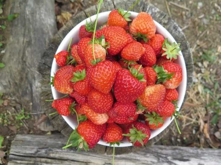 Клубника Елизавета - 135 фото сорта и видео обзор ее правильного выращивания своими руками