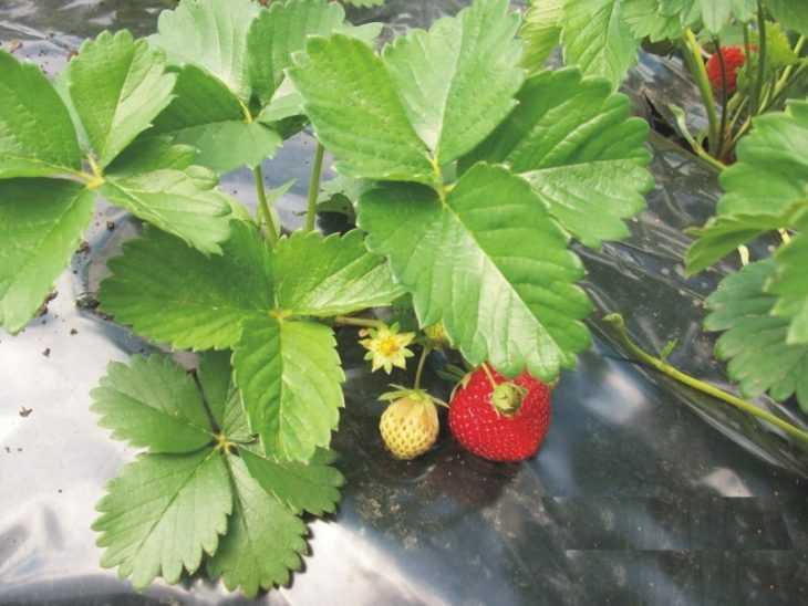 Клубника эльсанта - описание, особенности и виды сорта. 115 фото и видео выращивания и ухода