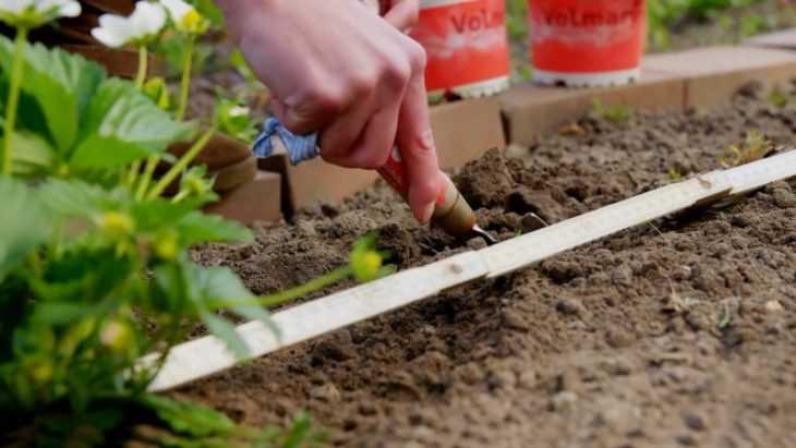 Клубника фестивальная: что это за сорт и как его вырастить своими руками? (135 фото и видео)