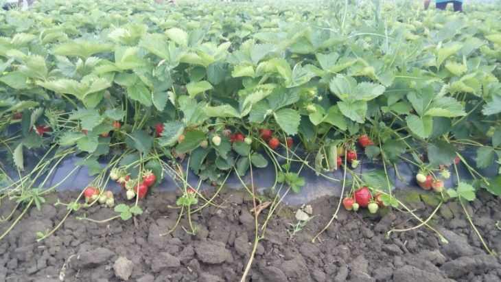 Клубника хоней - характеристика и описание сорта. Рассада, выращивание и особенности выращивания (100 фото)