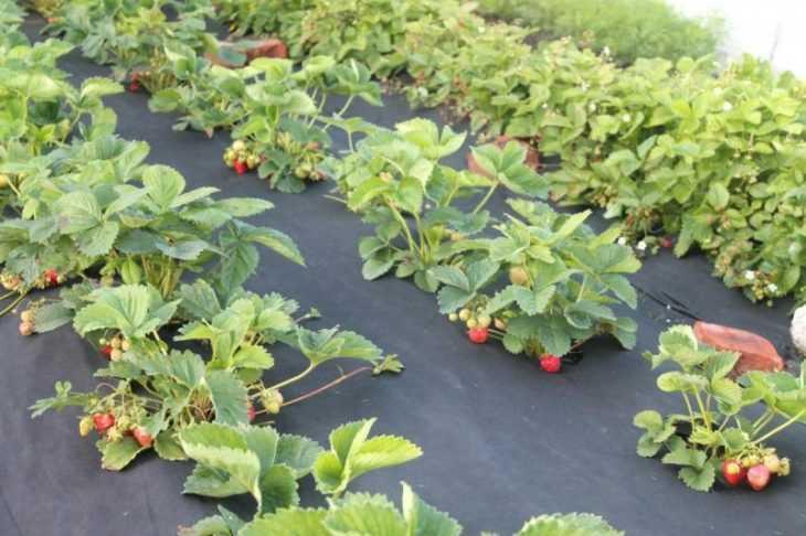 Клубника Максим - характеристика, уход, выращивание и посадка клубники особого сорта (115 фото)