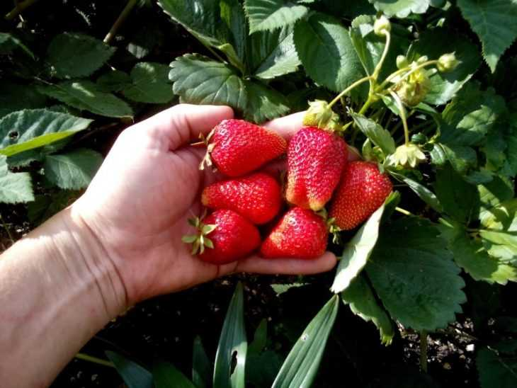 Клубника Мармелада: как правильно посадить и выращивать сладкий сорт клубники (95 фото и видео)