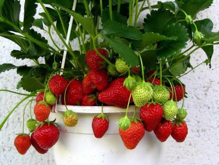 Клубника на балконе: что нужно для выращивания и как вырастить клубнику правильно (видео + 115 фото)