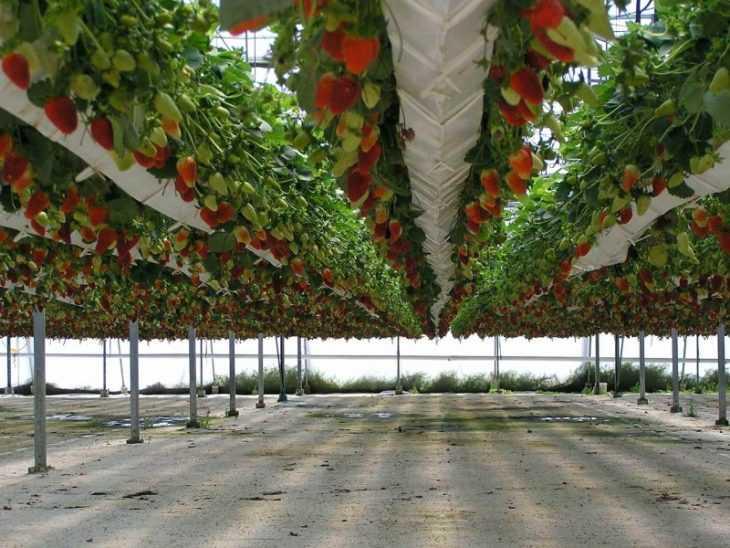Клубника на гидропонике - плюсы, минусы, нюансы и советы начинающим как вырастить хороший урожай